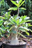 """Adenium Obesum """"Desert Rose"""" Large Succulent Plant"""