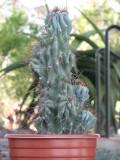 Cereus Mostrose Cactus Plant