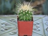 Echinocactus Grusonii mini Cactus Plant Special