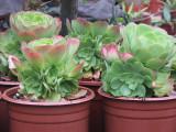 Aeonium Verde Lg Rosette  Clumping Succulent Plant