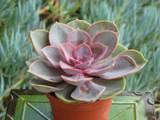 Echeveria Perle Von Nurnberg Succulent Plant
