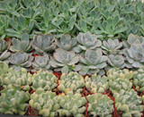 50 Mini Rosettes Collection Plants in 2 inch pots