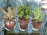 100 Transparent Glass  Container with Succulent Plant  Wedding Favors