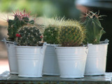 20 Mini Cactus Plants in White Bucket