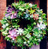 Large, all-natural living succulent wreath