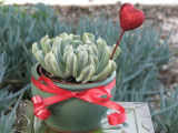 Potted rosette plant for valentine's day