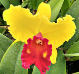 Large orchid flower