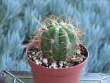 Helianthocereus Terscheckii Fat Boy small Cactus