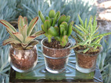 mini succulent plants in transparent glass container