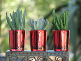 10 Red Glass Favor  Succulent Plants