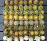 20 Mini Cactus Plants Collection in 2 inch pots