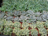 10 Mini Rosettes Collection Plants in 2 inch pots