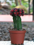 Grafted Purple Large Moon Cactus