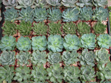 10 Premium Rosettes Collection Plants