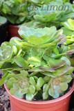 Aeonium  Clumping Large Rosette Succulent Plant
