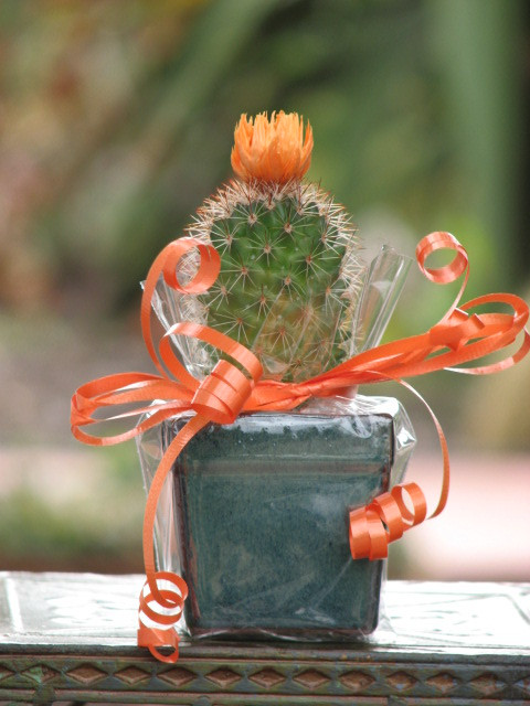 Little Cactus Potted Gift Plant Cactus Limon
