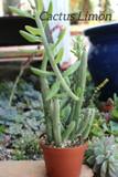 Seneccio Anteuphorbium  4 inch pot Succulent Plant