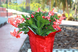 Blooming Christmas Cactus plant