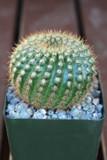 Notocactus Werdermannianus Cactus Plant