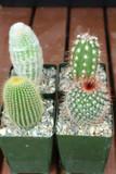 Mixed Cactus Collection