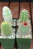 Mixed Cactus Collection