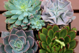 Mixed Rosette Succulent Collection