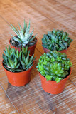 Mixed Haworthia Succulent Plant Collection