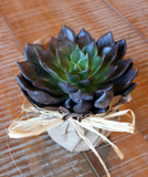 Farm Fresh Premium Echeveria Black Prince