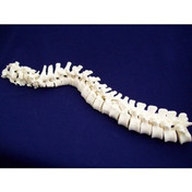 Buy ESP ZJY-240-120C Vertebral Column, Loosely Strung (ZJY-240-120C) sold by eSuppliesMedical.co.uk