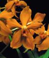 Pv. Labudanis 'Butterscotch'