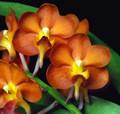 Prrs. Ton Tan Keng Lam 'Orange Burst'