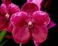 V. Robert's Delight 'Garnet Beauty' FCC/AOS