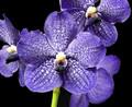 V. Banjong Sky Blue 'Preecha'