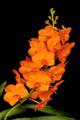 V. Suksamran Sunlight 'Crownfox Tangerine' HCC/AOS