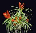 Asctm. curvifolium