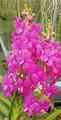 V. [Asctm.] curvifolia 'Shocking Pink' f. franksmithiana