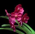 V. Udomchai Beauty 'Fuego'