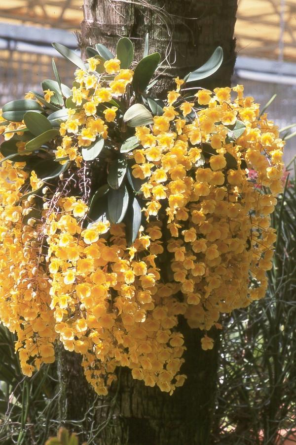 Dendrobium aggregatum - RF Orchids Store
