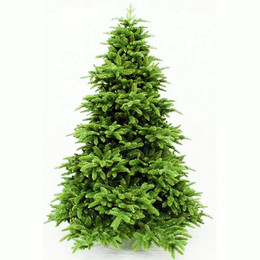 Abies Nordmann Fir 6.5ft