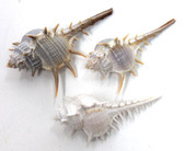 Spiny Murex Seashell 2-3""