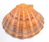 Orange Lion's Paw Scallop Shell
