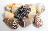 Small Mixed Cone Seashells - 1 Pound