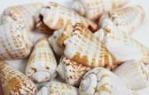 Strombus Bulk Shells