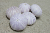 "2.5"" Purple Sea Urchin - 5 Pieces"