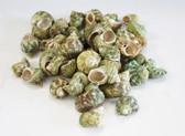Green Turbo Shells - 1 Pound Bag