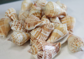 Strombus Craft Shells