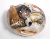 Tigerina Clam Seashell Pack - 1 Dozen