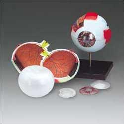 Eye ( Whopper) Anatomical Model