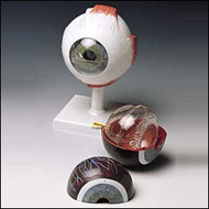 Eye Anatomical Model Classic Human