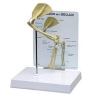 Feline Elbow and Shoulder Anatomical Model